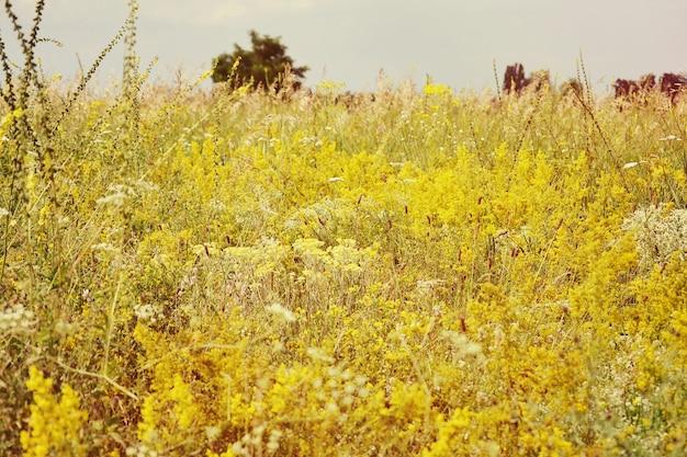 Fundo desabrochando com flores amarelas em um campo com um filtro