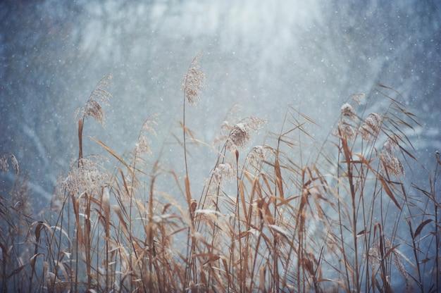 Fundo desfocado com junco seco, queda de neve