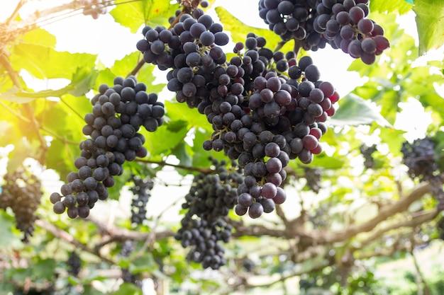 Fundo desfocado de uva, uvas pendurado no foco de seleção de árvore e luz justa