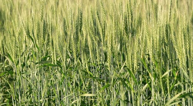 Fundo do campo de trigo. colheita de trigo em um campo ensolarado de verão. agricultura, cultivo de centeio e crescente conceito de comida bio eco. foto de alta qualidade