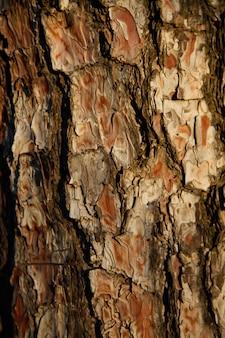Fundo do close-up da casca de pinheiros no por do sol na floresta. conceito de fundo de madeira.