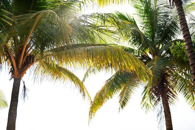 Fundo do conceito de férias de verão quadro da natureza com coqueiros em fundo branco.