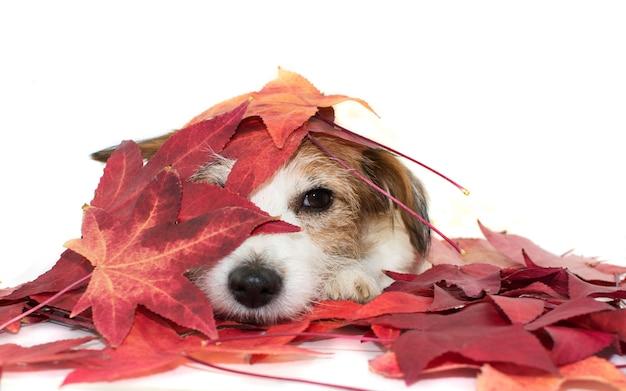 Fundo do outono. cão que joga com folhas de outono vermelhas