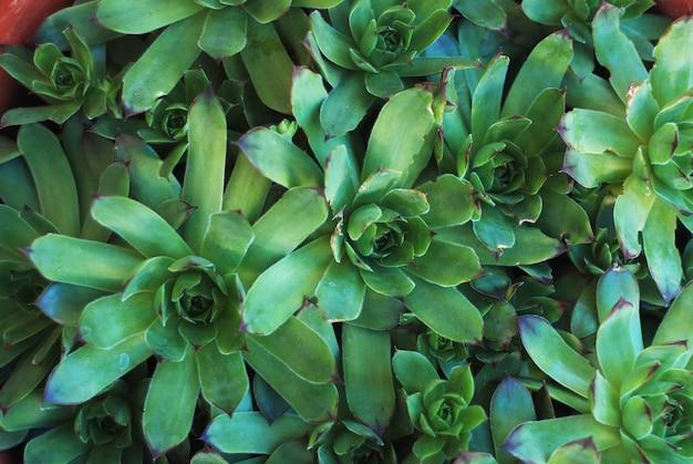 Fundo do sempervivum das flores das plantas carnudas.