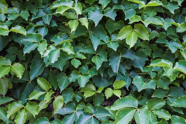 Fundo e textura da parede de folhas verdes.