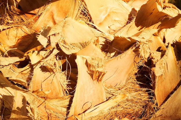 Fundo e texturas da natureza da pele da palmeira