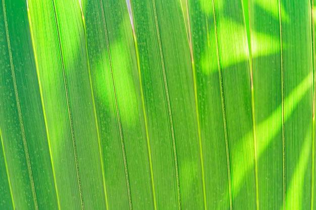 Fundo em folha de palmeira. raios de sol nas folhas.