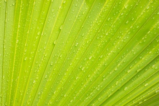 Fundo em folha de palmeira verde com gotas de água