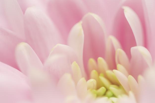 Fundo floral abstrato crisântemo rosa flor macro flores pano de fundo para design de marca de férias
