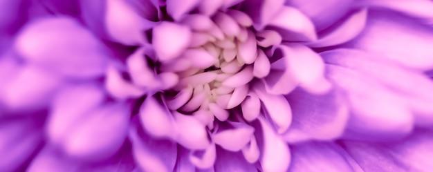 Fundo floral abstrato crisântemo roxo flor macro flores pano de fundo para marca de feriado
