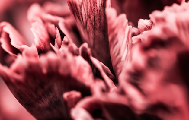 Fundo floral abstrato flor de cravo rosa macro flores pano de fundo para design de marca de férias