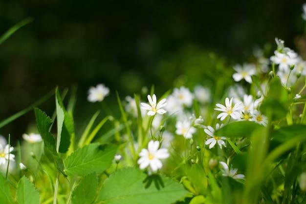 Fundo floral ao ar livre. close-up de flores brancas, pequenas. foco seletivo em flores, fundo desfocado, bokeh.