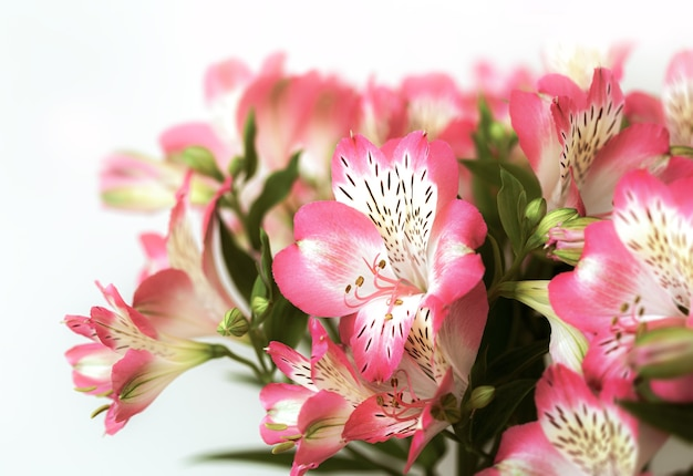 Fundo floral. buquê de flores de alstroemeria em plena floração. flores rosa de alstroemeria