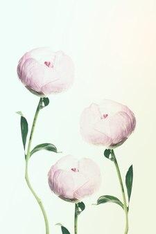 Fundo floral com flores de peônia doce. cartão tonalizado suave