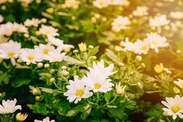 Fundo floral fresco de flores de crisântemo branco