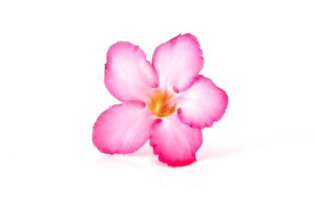 Fundo floral. perto da flor tropical rosa adenium. rosa do deserto em fundo branco isolado
