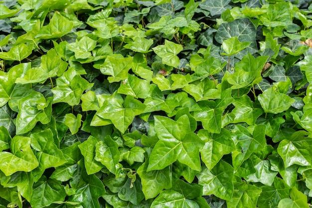 Fundo floral verde natural de plantas trepadeiras