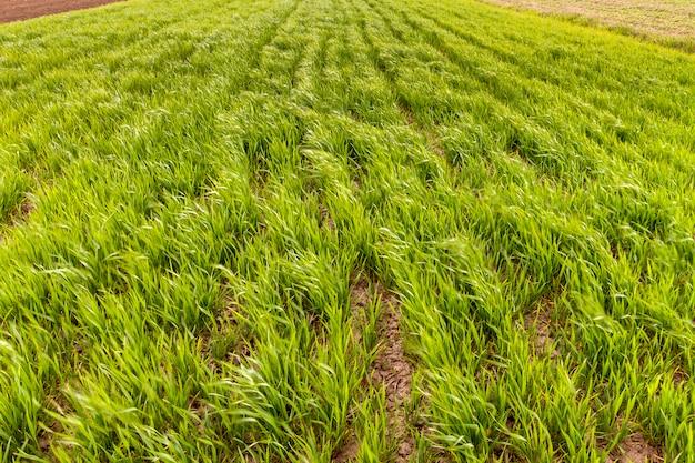 Fundo fresco verde do close-up dos brotos do trigo ou de milho que crescem no campo no verão ensolarado brilhante ou no dia de mola. natureza, agricultura, colheita e agricultura, conceito de produção de alimentos orgânicos.