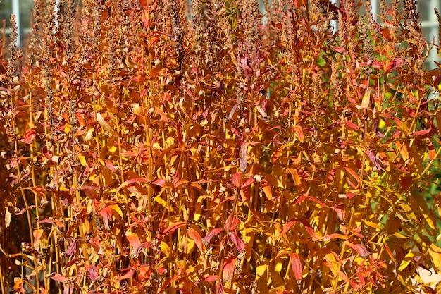 Fundo laranja natural de outono de caules secos de uma planta ornamental em um jardim botânico