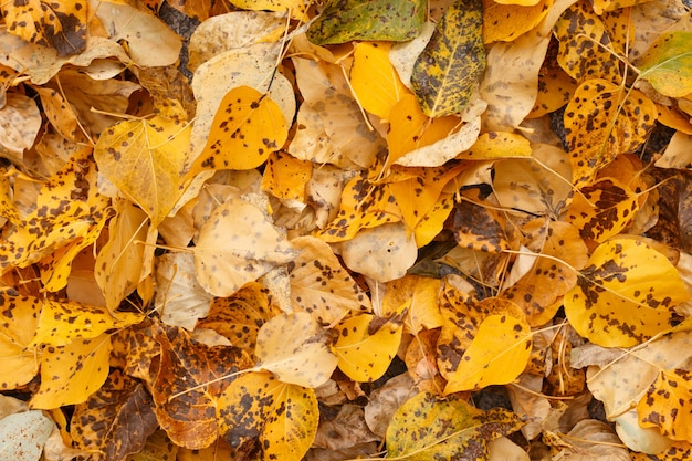 Fundo legal de folhas de outono caídas amarelas