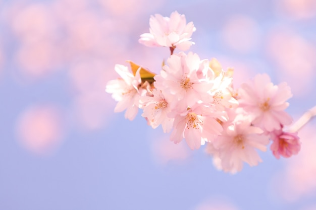 Fundo macio abstrato com flor de cerejeira e luz do sol em um tiro. imagem de foco seletivo. flores de cerejeira desabrochando na primavera