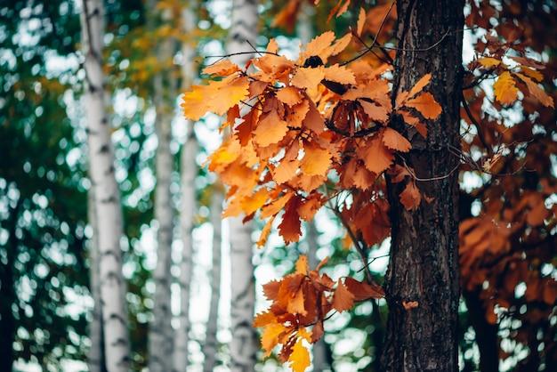 Fundo maravilhoso de outono com folhas multicoloridas de carvalho.