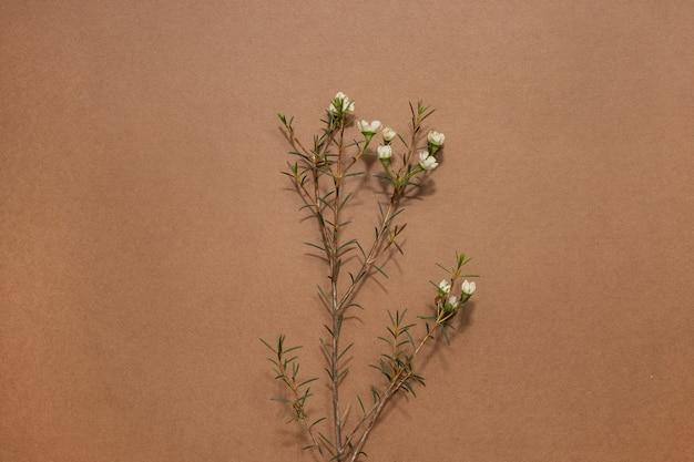 Fundo minimalista com chamelaucium ou flor de cera, flor tenra, flor de violeta, camada plana, vista de cima