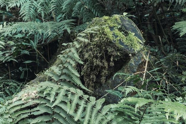 Fundo natural bonito com muitas samambaias selvagens em uma floresta pitoresca.
