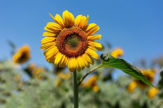 Fundo natural, close-up de flor de girassol em dia ensolarado em fundo de céu azul.