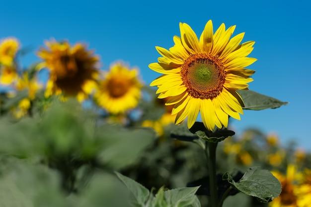 Fundo natural, close-up de flor de girassol em um dia ensolarado em fundo de céu azul com espaço de cópia.