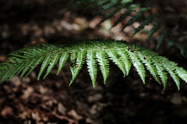 Fundo natural com folha de samambaia. folhagem verde de samambaia iluminada com raio de sol na floresta escura, foco seletivo.