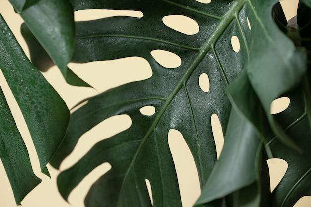Fundo natural com folha tropical monstera close-up.