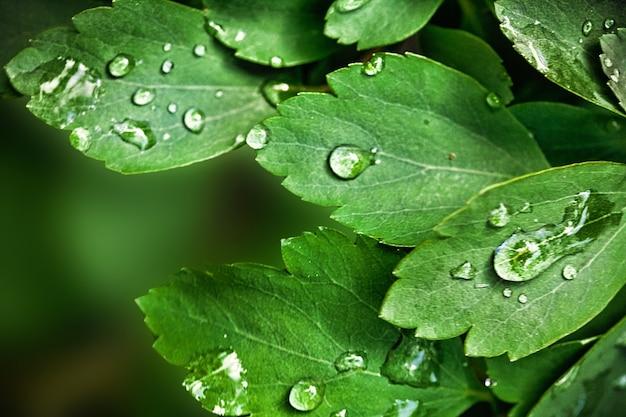 Fundo natural com folhas verdes e gotas de água após a chuva