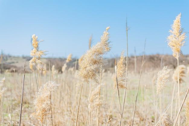 Fundo natural com juncos naturais secos em um dia ensolarado