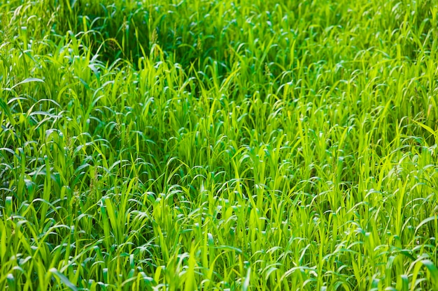Fundo natural da grama verde.