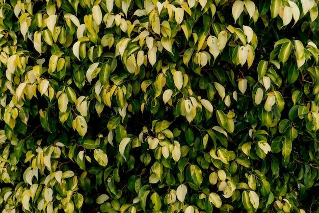 Fundo natural da grande parede coberto de folhas verdes.