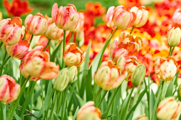 Fundo natural de flores desabrochando da primavera. campo de tulipas vermelhas.