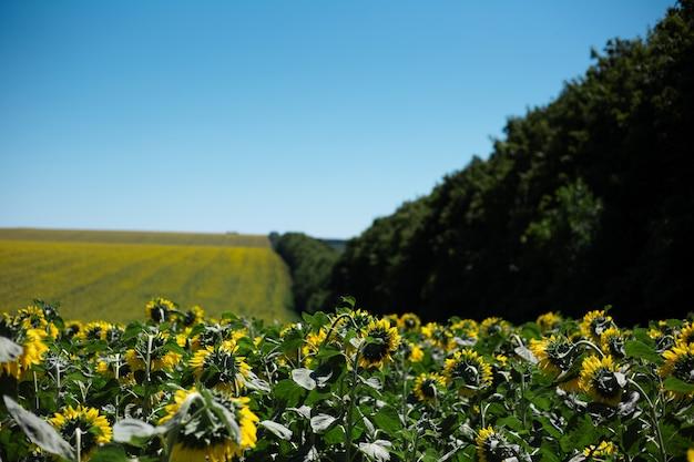 Fundo natural do campo de girassóis em fundo de céu azul e árvores.