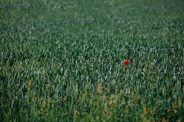 Fundo natural do campo de trigo verde com uma papoila vermelha