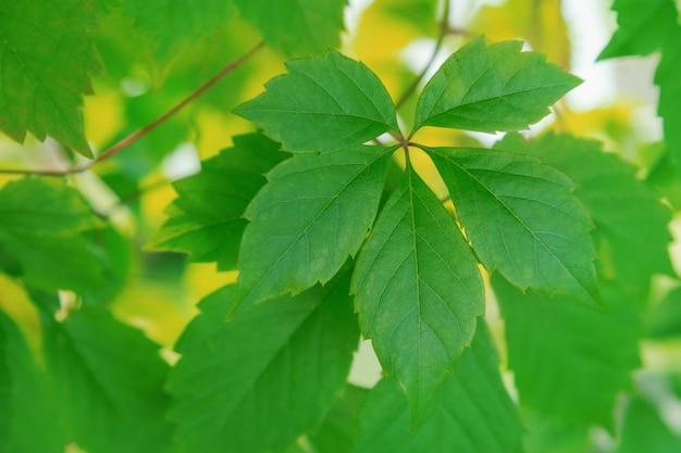 Fundo natural. folhas verdes sobre fundo desfocado. folhas de cinco pontas. ornamento de plantas.