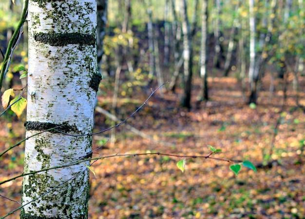Fundo natural outonal da floresta de bétula.