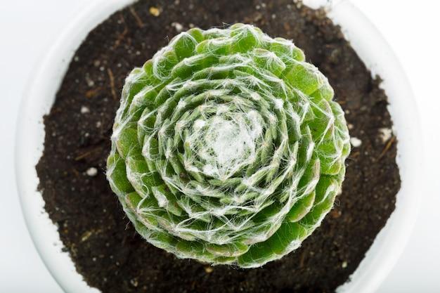Fundo natural planta suculenta
