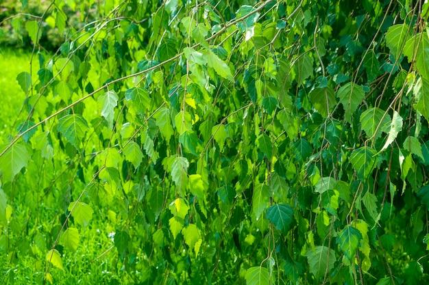 Fundo natural. teste padrão botânico com belas folhas verdes frescas de bétula para design gráfico e papel de parede.