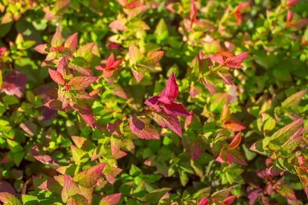 Fundo natural. teste padrão botânico com lindas folhas verdes e rosa frescas de spiraea japonica para design gráfico e papel de parede. arbustos ornamentais decíduos da família pink.