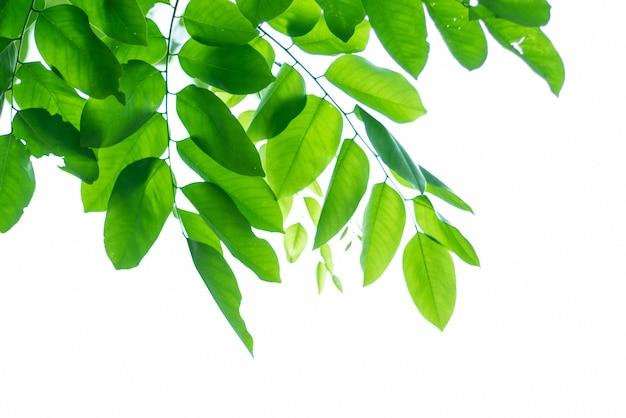 Fundo natural verde com folhas.