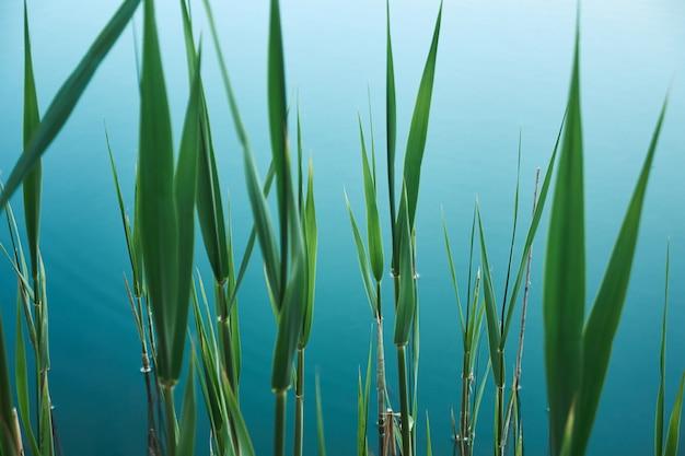 Fundo orgânico tropical com folhas verdes de junco na água azul do lago
