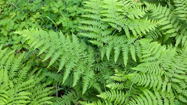 Fundo ou padrão de samambaia verde natural na floresta