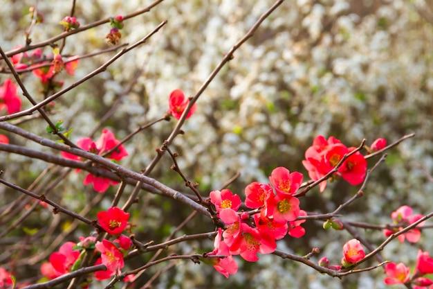 Fundo romântico de flores vermelhas e brancas fora de foco