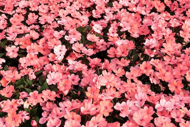 Fundo rosa walleriana de impatiens. flores da lizzie ocupada. pano de fundo floral