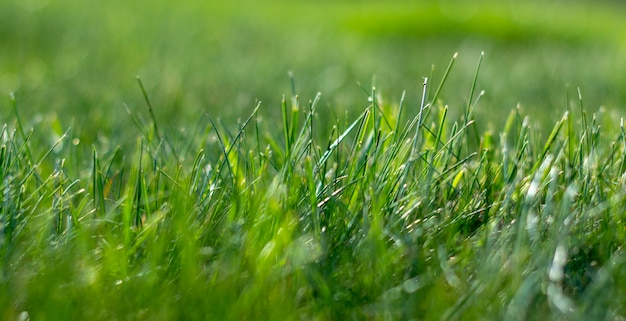 Fundo suculento jovem grama gramada